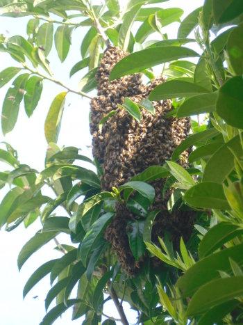 Essaim d'abeilles dans une haie